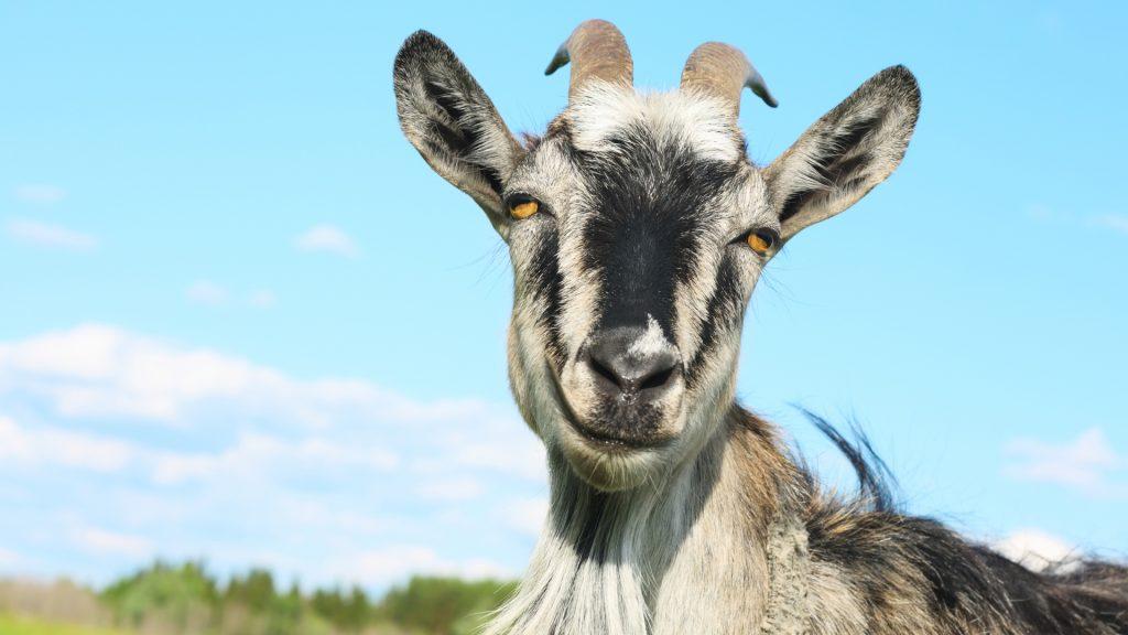 Viral Video Goat